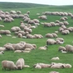 Vand 300 de oi (rasa Tarcana Alba) fatate - Oi/capre