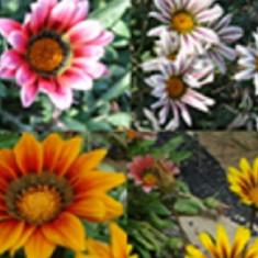 Gazania seminte 4 culori mix - 50 seminte