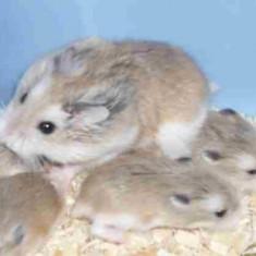 Vand hamsteri