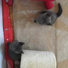 Pui british shorthair blue - Pisica de vanzare