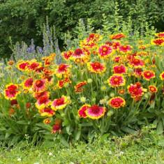 Gaillardia aristata Kobold – gailardia, floarea roata de foc - Tuia