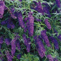Buddleja davidii 'Black Knight' – liliac de vara