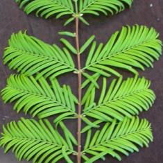 Metasequoia glyptostroboides - Metasequoia