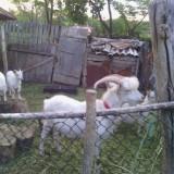 Animale -capre de rasa - Oi/capre