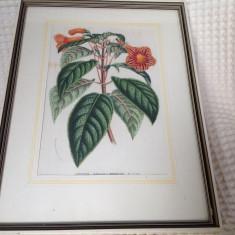 Litografie color Horto van Houtteaneo sec XIX