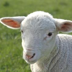 Miel de vanzare - Oi/capre