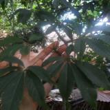 Copacel ultra ornamental de Ceiba speciosa-Kapok - 1 pom la 1, 70 + metri