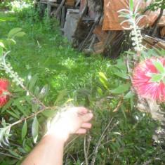 Planta inflorita de Callistemon va fi plina cu flori 1 planta de 8 ani-CITITI!