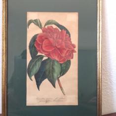 Tablou Camellia grandiflora, litografie color