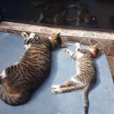 Pisica galati