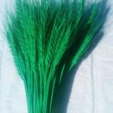 Plante naturale uscate - grau vopsit VERDE crud - buchet 50-70 fire