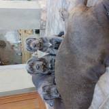 Mastino napoletano blue - Caini
