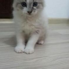 Pisicuti de rasa birmaneza - Pisica de vanzare