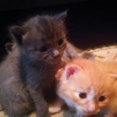 Pisoi pentru voi - Pisica de vanzare