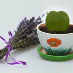 Cactus planta decor Hoya Kerrii in forma de inima + GRATIS Levantica