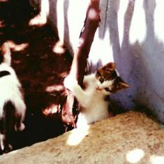 Pisicuti - Pisica de vanzare