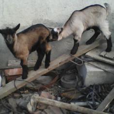 Iezi alpină franceză - Oi/capre
