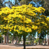 Seminte rare de Peltophorum dubium - 1 samanta pt semanat