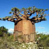 Seminte rare de Baobab - ciudatenie a naturii- 1 samanta pt semanat