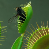 Seminte rare de Dionaea Muscipula big head carnivora - 3 seminte pt semanat