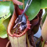 Seminte rare de Nephentes miranda carnivora - 3 seminte pt semanat