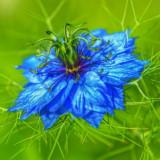 Seminte rare de Nigella damascena -3 seminte pt semanat