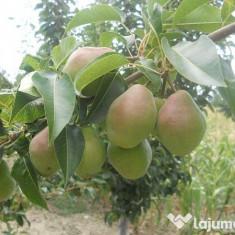 Pomi altoiti - Pomi fructiferi