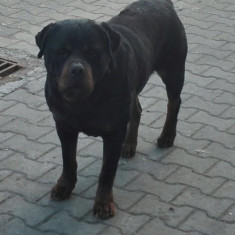 Rottweiler papy - Caini