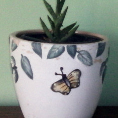 Planta ornamentala (Aloe Juvenna)