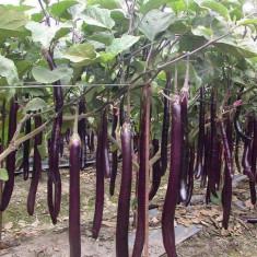 Seminte de Vinete lungi Chinezesti - 5 seminte pt semanat