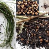 Seminte rare de Cyperus esculentus -Iarba cu alune- 3 seminte pt semanat