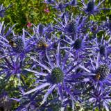 Seminte rare de Eryngium alpinum - 4 seminte pt semanat