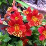 Seminte rare de Mimulus Hybridus -floarea maimuta - 20 seminte
