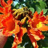 Seminte rare de Spathodea campanulata-Copacul cu lalele - 3 seminte pt semanat