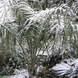 Seminte rare de Butia eriospatha- rezistent la ger - 1 samanta pt semanat