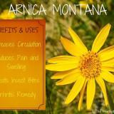 Seminte rare de Arnica Montana- medicinala- 3 seminte pt semanat