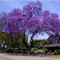 Seminte rare de Jacaranda violet - 3 seminte pt semanat