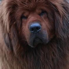 Pui Mastiff Tibetan - Caini