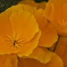 Seminte rare de Eschscholzia californica - Mac de California -3 seminte