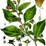 Seminte rare de Atropa belladonna lutea - 3 seminte pt semanat