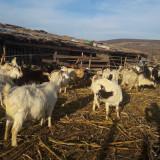 Vand capre bune de lapte - Oi/capre