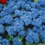 Seminte de Ageratum de Mexico Azul - 8 seminte pt semanat