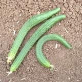 Seminte rare de castraveti lungi chinezesti - 5 seminte pt semanat