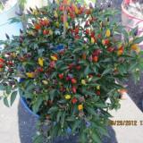 Seminte rare de Ardei iute Bolivian Rainbow(curcubeu )- 5 seminte pt semanat - Seminte ardei iute