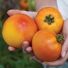 Seminte rare de Rosii Orange Sun - 5 seminte pt semanat - Seminte rosii