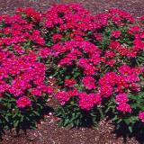 Seminte de Verbena Roz- 10 seminte pt semanat