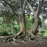 Seminte rare de BANYAN - ciudatenie ! bun pentru bonsai - 5 seminte pt semanat