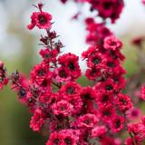 Seminte rare de MANUKA- eptospermum scoparium