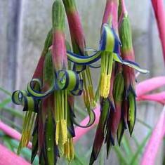Planta de narimea infloririi de Lacrima Reginei- Billbergia nutans - bromeliads