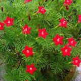 Quamoclit pennata floare cataratoare 10 seminte